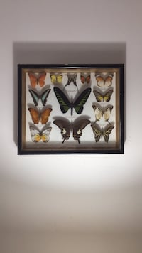 Beautiful display of butterflies are pinned framed in named Damascus, 20872