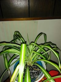 Small spider plants