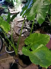 green leaf plant with brown pot Houma, 70363