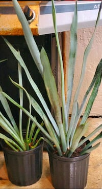 Blue Agave plants. About 2 feet tall