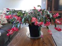 Thanksgiving  cactus  75 blossoms  Vancouver, 98662
