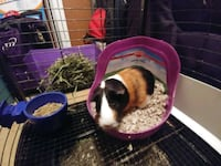black and white guinea pig Clermont, 30527