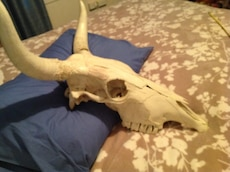 """Texas Longhorn skeleton skull..ready for hanging....27"""" x 26""""...huge.....varnished for that gloss and horns glued from inside...very nice item, ready to hang w genuine leather ropes."""