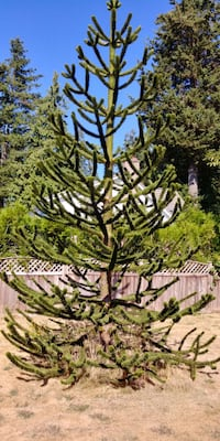 Pines and shrubs  Surrey