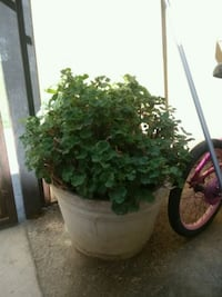 green leaf plant in brown pot Bakersfield, 93305