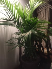 Beautiful and tall healthy potted Palm tree Aurora, 80012