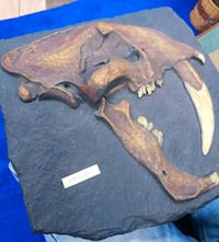 Authentic Museum Casting of a Prehistoric Smilodon