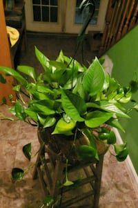 Pothos basket Clinton, 20735