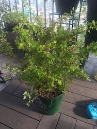 2 Gallon Premium shrubs. Barberry dwarf   Golden Burnaby, V5H 1Z9