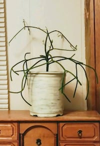 Pencil Plant * Easy Care Succulent St. Petersburg, 33703