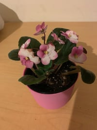 African pink and white violets live plant New York, 11218