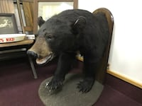 Canadian Black Bear Half Mount Taxidermy w/ Real Teeth & Claws cabin Nashua, 03060