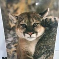 Unframed Picture Of A Cougar Clarksburg