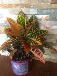 Beautiful colorful house plant in the cute matching color new pot Aurora, 80012