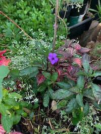 Purple flower plant w/ other plants  (5 gallon) West Covina, 91790