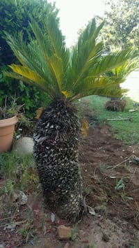 Sago palm you dig it out for $150