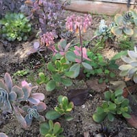 Succulent 1 cutting Lake Forest, 92630