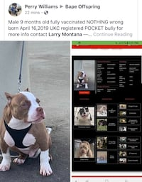 America pocket bull  New Orleans, 70112