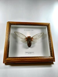 Vintage Framed Cicada, Frame made of Oak Wood Burlington, L7R 2M2