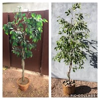 Pair of Silk Trees - Silk Ficus - Delivery Available  Phoenix, 85012