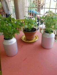 3 mature potted mint plants.  10.00 each Las Vegas, 89123