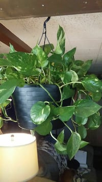 Pathos plant in 10 inch hanging pot
