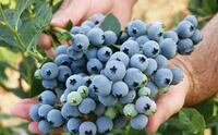 Farm fresh BLUEBERRIES FOR SALE Pitt Meadows, V3Y 2K6