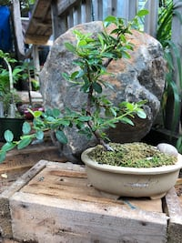 Bonsai (Cottoneaster)  null