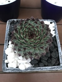 Beautiful Succulents In New Ceramic Pots San Diego, 92037
