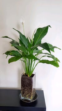Peace lily in glass vase