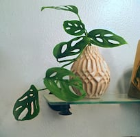 "Beautiful Monstera 'Swiss Cheese' Vine in 4"" Desktop Planter"