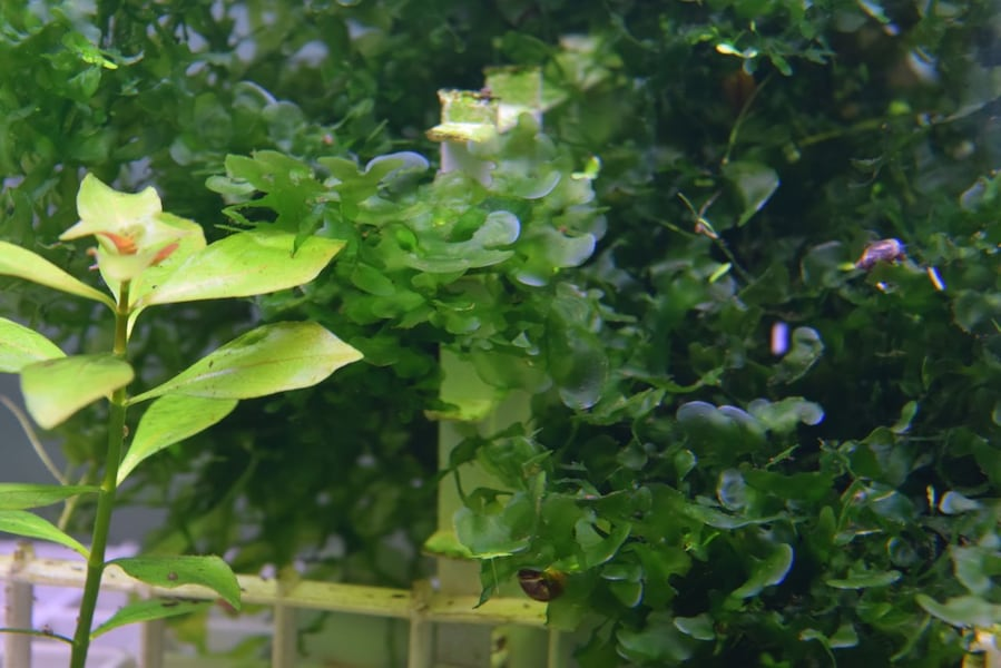 Pelia Moss - Fresh water Aquarium Plant 2