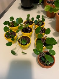 Pilea peperomioides (Chinese money plant) Toronto, M5V