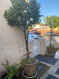 2 Trees with cement pots 8ft tall Chula Vista, 91911