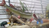 Northern Pike Taxidermy Mount South Bend, 46614