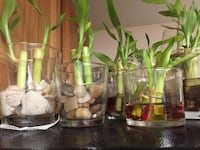Any one of my lucky bamboo as shown $5 Monroeville, 15146