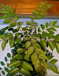 Curry Leaves Plant: 9 inches