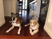 Pet sitting visits to your home Henderson, 89074