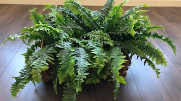 Large silk fern plant