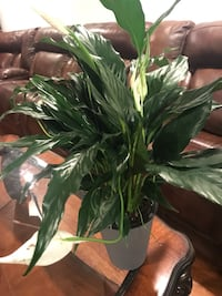 Beautiful and healthy Piece Lily house plant in self-watering pot Aurora, 80012