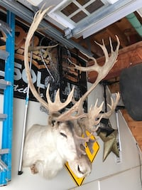 CARIBOU MOUNT. Boone and crocket Caribou. Semi elbino from 1978 Alaska Bohemia, 11716