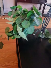 green leafed plant with brown pot 33 mi