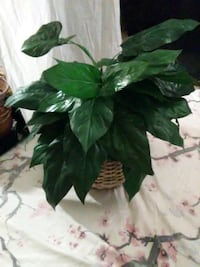 FAKE PLANTS - HOME DECOR. Glendale, 85302