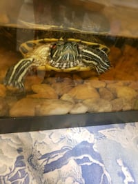 Turtle tank with 2 red ear slider free Gaithersburg, 20877