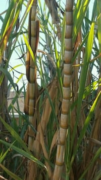 Sugar cane, for planting South Gate, 90280