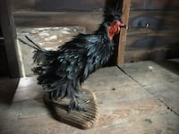 Stuffed Silkie Frizzle Rooster (Taxidermy) Cayuga, ON, Canada
