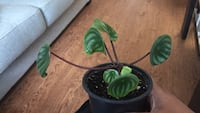 $8 Rooted watermelon peperomia house plant $8 Mississauga, L5B 0C9