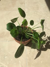 "Pilea Money plant in 6"" clay pot. Fountain Hills, 85268"