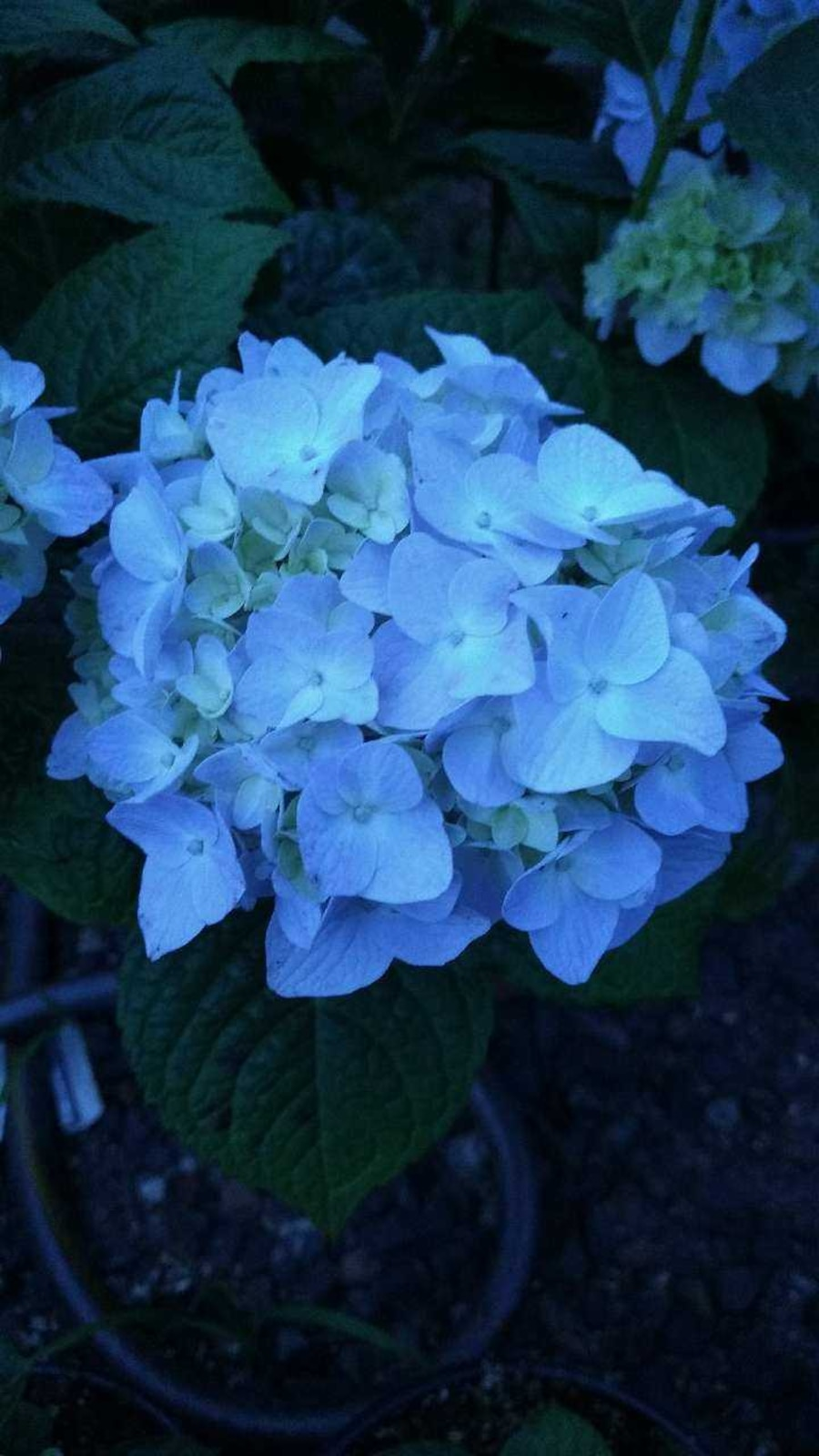 Locally grown Hydrangeas for sale! - United States