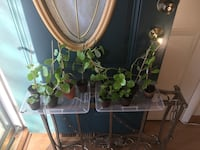 Money plants different sizes and prices Gaithersburg, 20879